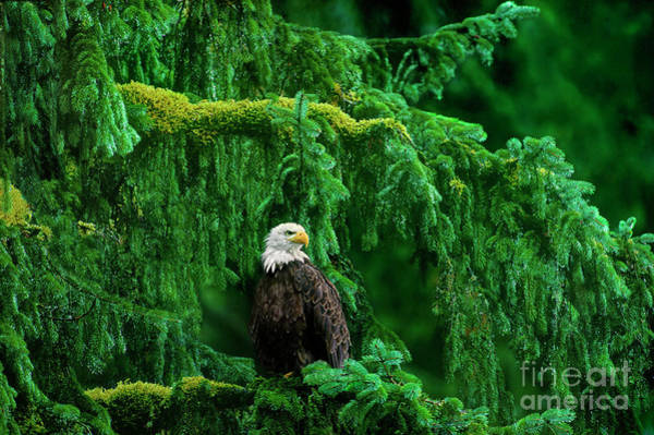 Photograph - Bald Eagle In Temperate Rainforest Alaska Endangered Species by Dave Welling