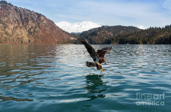 Wall Art - Photograph - Bald Eagle Juvenile Fishing by Louise Heusinkveld