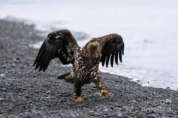 Wall Art - Photograph - Bald Eagle Juvenile by Louise Heusinkveld