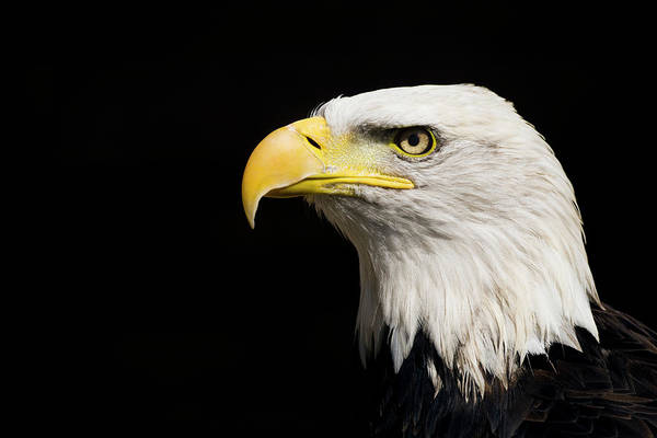 Eagle Photograph - Bald Eagle by Ken Welsh