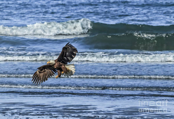 Wall Art - Photograph - Bald Eagle Landing by Robert Bales
