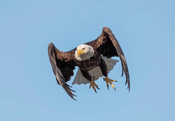 Photograph - Bald Eagle Launch by Loree Johnson