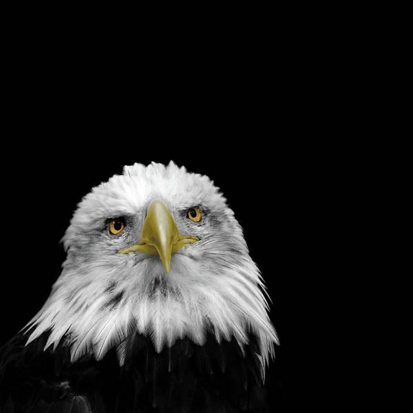 Bald Photograph - Bald Eagle by Mark Rogan