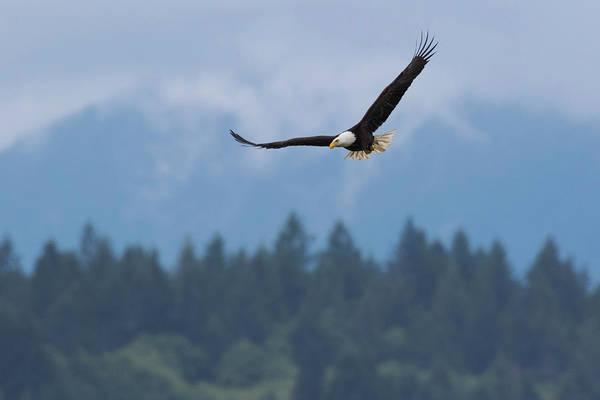 Wall Art - Photograph - Bald Eagle, Mountain Environment by Ken Archer
