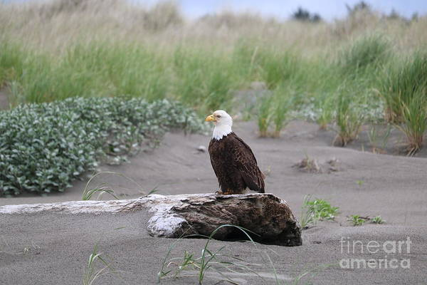 Wall Art - Photograph - Bald Eagle On Driftwood by Carol Groenen