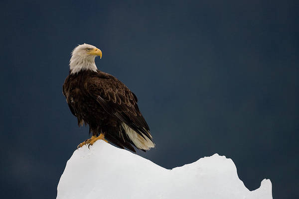 Juneau Photograph - Bald Eagle On Iceberg, Alaska by Paul Souders
