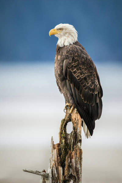Photograph - Bald Eagle On Snag by James Capo