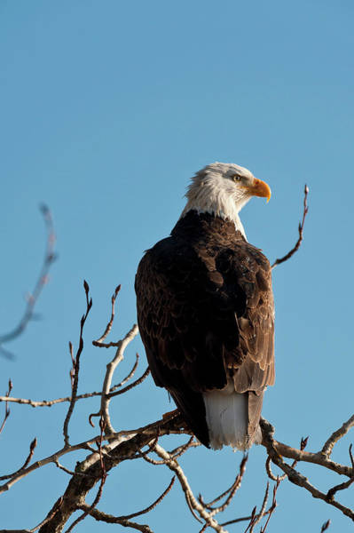 Eagle Photograph - Bald Eagle Perch At Lake Coeur Dalene by Mike Berenson / Colorado Captures