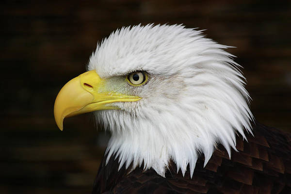Eagle Photograph - Bald Eagle by Phil Wood Photography