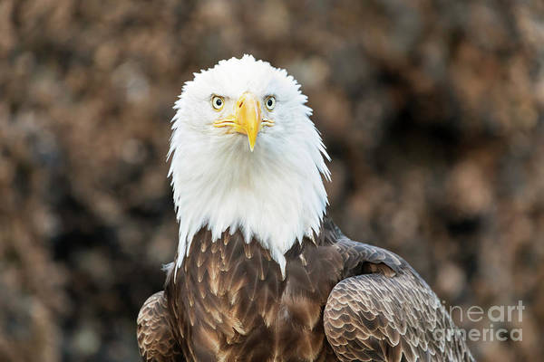 Wall Art - Photograph - Bald Eagle Portrait by Louise Heusinkveld
