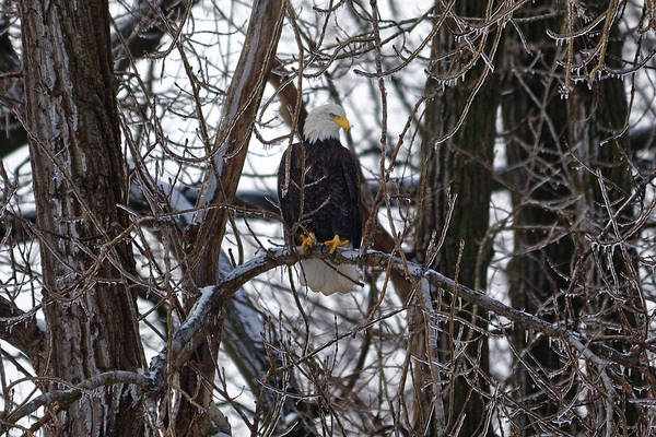 Photograph - Bald Eagle Portrait by Peter Ponzio