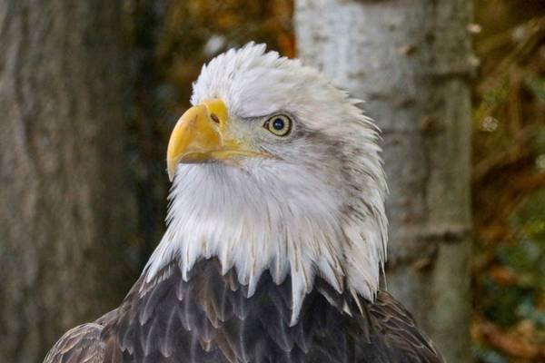 Photograph - Bald Eagle Portrait by Susan Rydberg