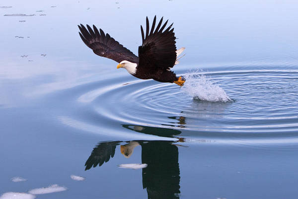 Bald Eagle Splashing In Dive Art Print