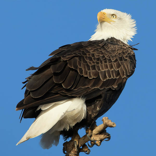 Wall Art - Photograph - Bald Eagle Squared by Kathleen Bishop