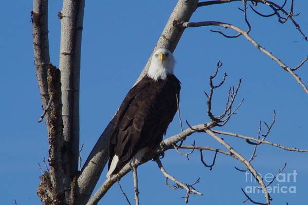 Wall Art - Photograph - Bald Eagle Staring by Jeff Swan
