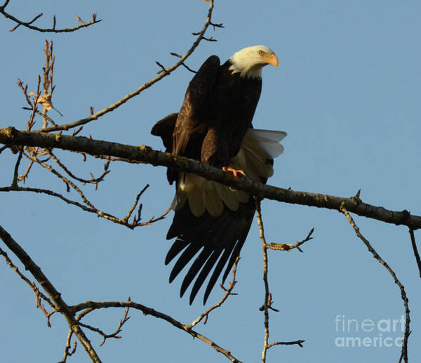 Wall Art - Photograph - Bald Eagle Stretching by Bob Christopher