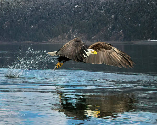 Photograph - Bald Eagle With Catch by James Capo