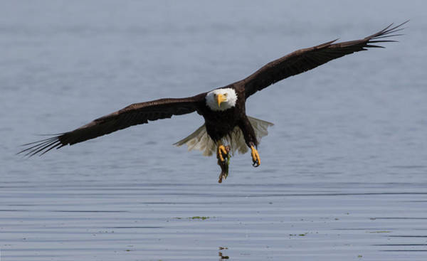 Wall Art - Photograph - Bald Eagle With Meal by Ken Archer
