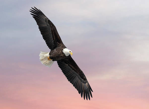 Wall Art - Photograph - Bald Eagle With The Sunrise 2019-1 by Thomas Young
