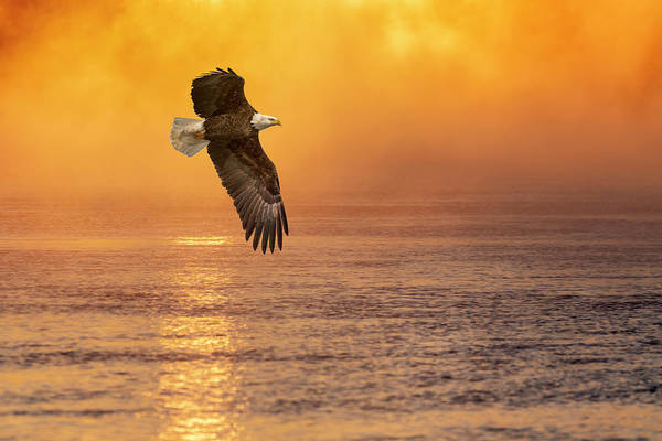 Photograph - Bald Eagle With The Sunrise 2019 by Thomas Young