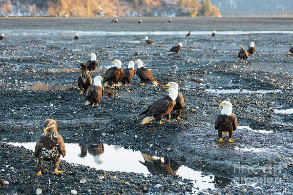 Wall Art - Photograph - Bald Eagles At Low Tide At Dusk by Louise Heusinkveld