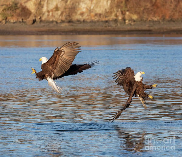 Wall Art - Photograph - Bald Eagles Fishing by Louise Heusinkveld