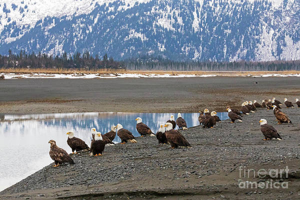 Wall Art - Photograph - Bald Eagles In China Poot Bay Alaska by Louise Heusinkveld