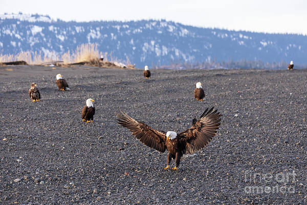 Wall Art - Photograph - Bald Eagles On The Beach by Louise Heusinkveld