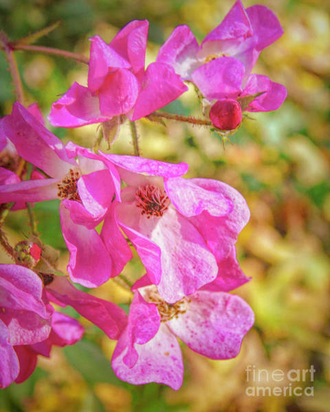 Shrub Mixed Media - Ballerina Rose In Autumn by Susan Lafleur
