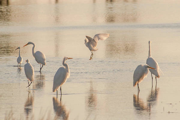 Photograph - Ballet Of The Egrets by Donald Brown