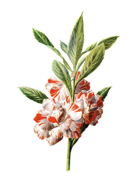 Mixed Media - Balsam Flower by Naxart Studio