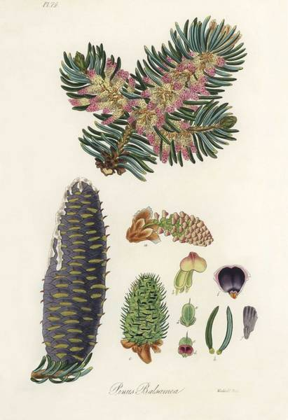 Wall Art - Painting - Balsam  Pinus Balsamea  Illustration From Medical Botany  1836  By John Stephenson And James Morss C by John Stephenson