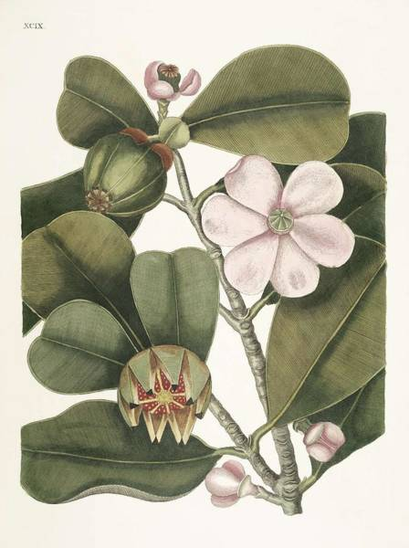 Pine Needles Painting - Balsam Tree  Cenchramidea Arbor  From The Natural History Of Carolina, Florida, And The Bahama Islan by Celestial Images
