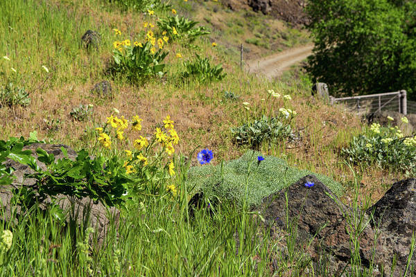Photograph - Balsamroot And Bachelor's Button by Tom Cochran