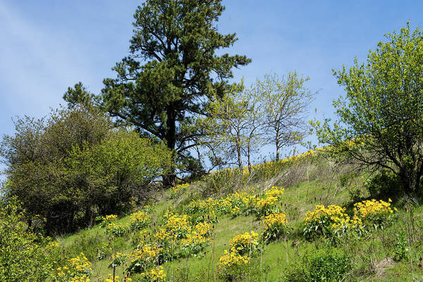 Photograph - Balsamroot And Pine Near Klemgard Park by Tom Cochran