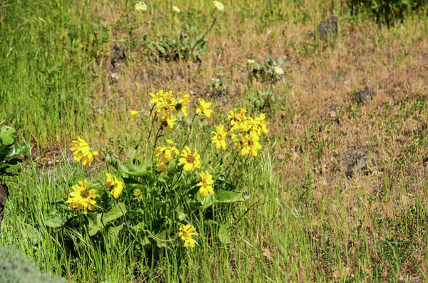 Photograph - Balsamroot Clump Near The Dalles by Tom Cochran