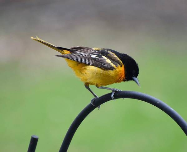 Baltimore Oriole Wall Art - Photograph - Baltimore Oriole by Amber Foote