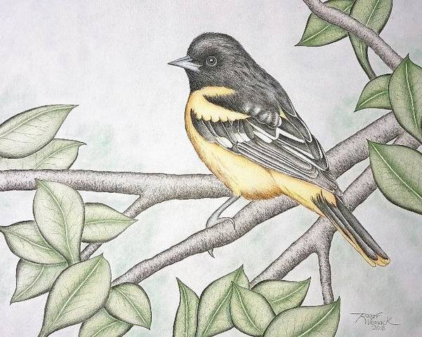 Oriole Drawing - Baltimore Oriole by Roger Womack