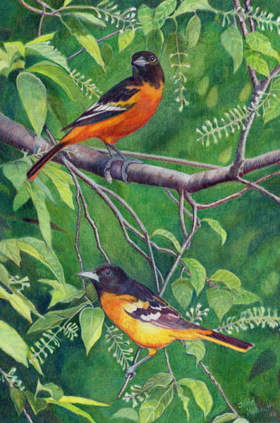 Oriole Drawing - Baltimore Orioles by Todd Hatchett
