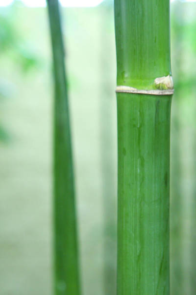 Photograph - Bamboo 0312 by Mark Shoolery