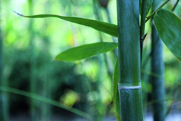 Photograph - Bamboo 0321 by Mark Shoolery