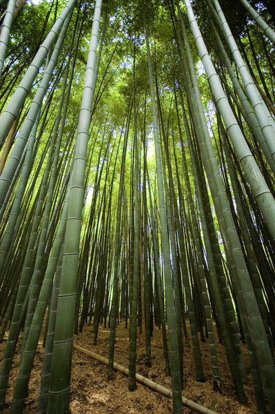 Wall Art - Photograph - Bamboo Forest, Arashiyama District by Rachel Lewis