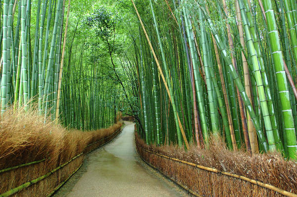 Wall Art - Photograph - Bamboo Forest In Kyoto, Japan by William Chu
