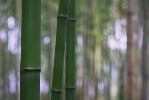 Wall Art - Photograph - Bamboo Forest In Kyoto by Sebastian Kropp