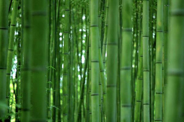 Wall Art - Photograph - Bamboo Forest by Paco Alcantara