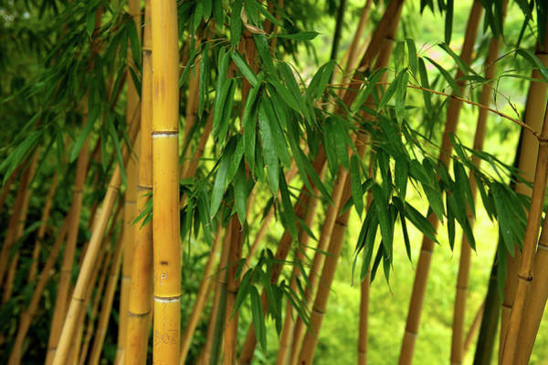 Ornamental Grass Photograph - Bamboo Forest by Ra-photos