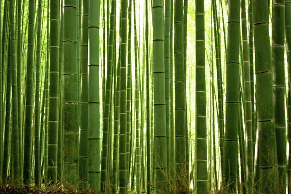 Wall Art - Photograph - Bamboo Grove, Arashiyama by Andrea Schaffer