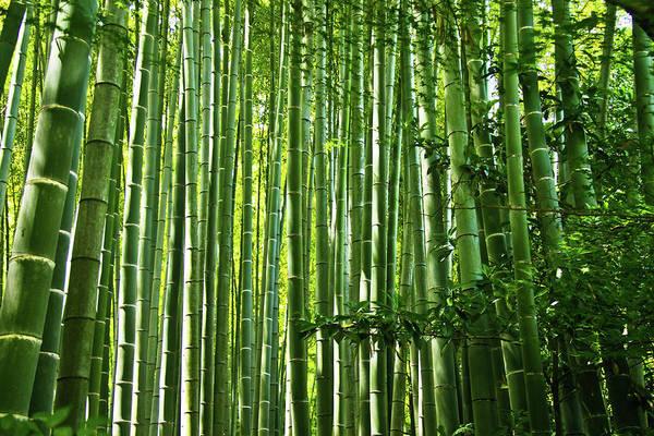 Kamakura Wall Art - Photograph - Bamboo Grove, Kamakura by Copyright Artem Vorobiev