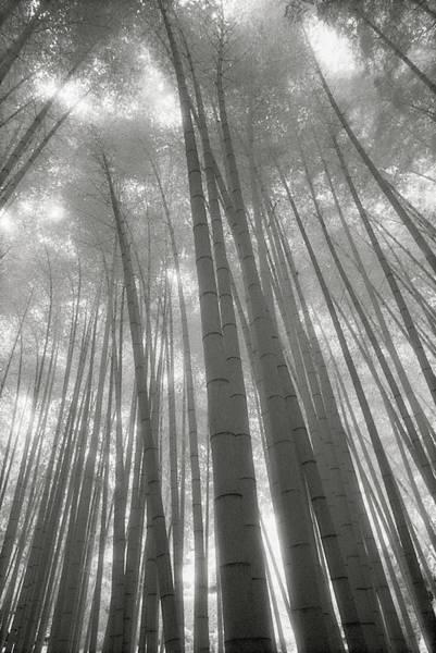 Wall Art - Photograph - Bamboo Grove, Low Angle View B&w by Stuart Mccall