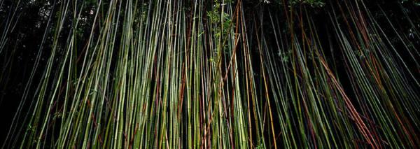 Bamboo Shoots Photograph - Bamboo Hi by Panoramic Images